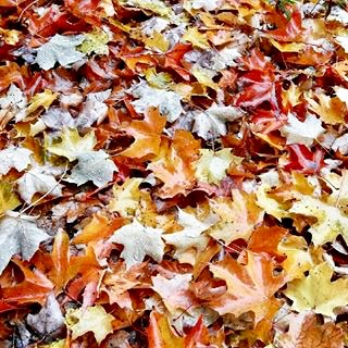 colourful fall photo of maple leaves