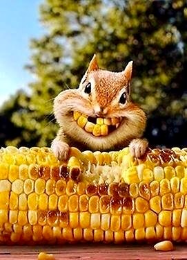 gappy smile on chipmunk eating a cob of corn