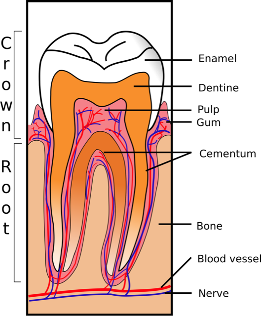 parts of a tooth-Lakeshore Dentist-Mississauga-Lorne Park Dental